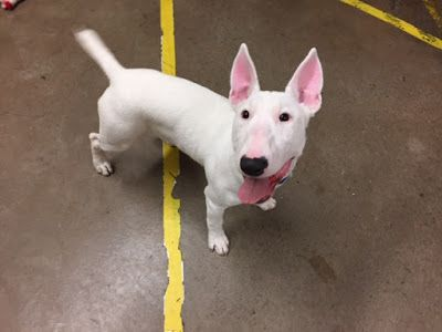 'SPROCKET' enthusiastic Bull Terrier pup