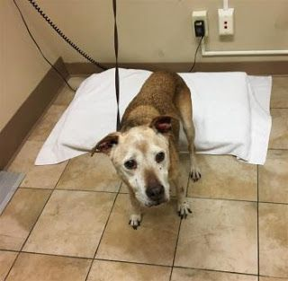 """GALLOPING GILDA"" 13 yr old American Shelter Dog mix"