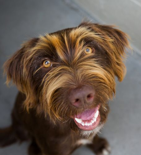 """""""GLORIA"""" wirehaired Pointing Griffon mix"""