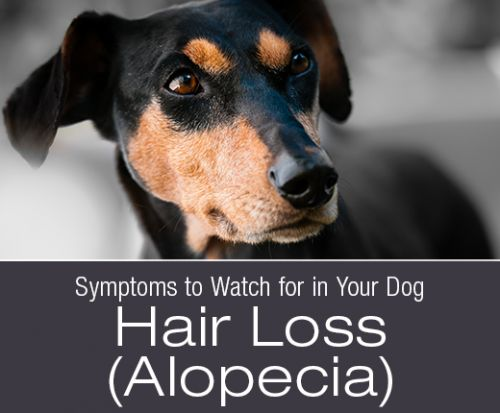 Symptoms to Watch for in Your Dog: Hair Loss
