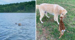 Courageous Dog Is Best Friends With Fawn He Rescued From Drowning In Lake