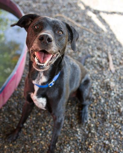 """""""DUSTIN"""" nice older Lab mix - lived with cats and dogs"""