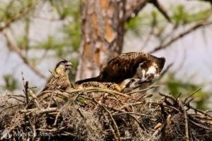 Two Juvenile Ospreys Among the Latest Victims of Government-Sanctioned Killing