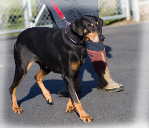 """MARGOT"" gentle gal, looking for DOBIE Loving Home"