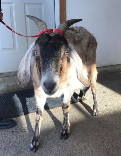 """KAISER"" sweetie Anglo- Nubian female GOAT In FOSTER Home"