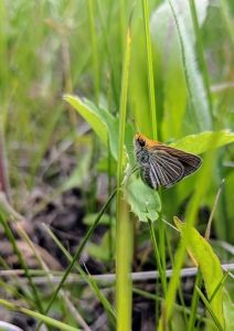 Assiniboine Park Zoo and Minnesota Zoo breed Critically Endangered butterfly in managed care