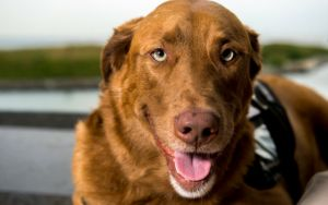 If An Unattended Service Dog Approaches You, This Is What You Must Do