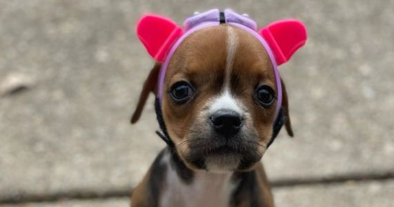 This Special Needs Puppy Has A Custom Helmet With Adorable Cat Ears