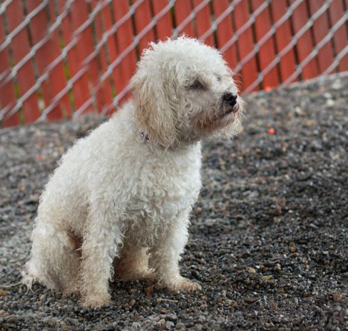 """COCO"" young Poodle mix"