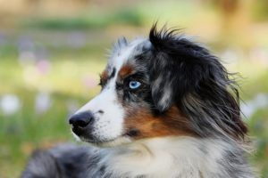 Essential Oils, Aromatherapy & Dogs: What You Need To Know