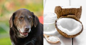 6 Reasons To Spoil Your Older Dog with Coconut Oil